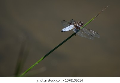 Dragonfly is sitting on a blade of grass above the water
