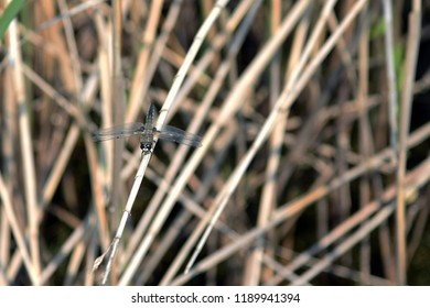 Dragonfly sitting in reed