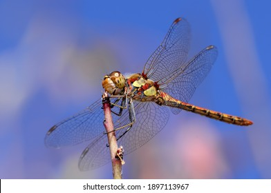 The dragonfly is a suborder belonging to the odonata team, separated from damselfly by keeping its wings horizontally open to the sides while resting.