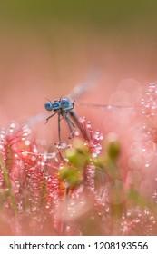 dragonfly trapped in drosera intermedia,sundew
