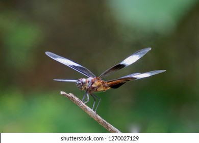 Dragonfly Widow Skimmer Insect Alight on Twig
