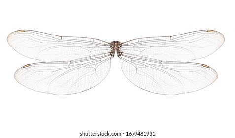 Dragonfly wings isolated on white background.