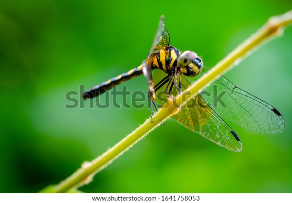 dragonfly-yellow-stripes-perched-on-600w