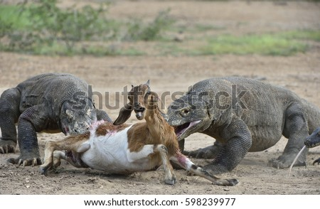 Dragons Attacks Komodo Dragons Attacks Prey Stockfoto Jetzt
