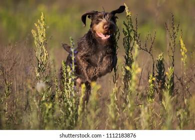 drahhaar dog in field
