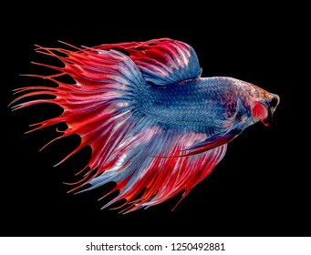 Drak blue betta splendens (Halfmoon betta),Pla-kad Thai, Betta Siamese fighting fish isolated on black background