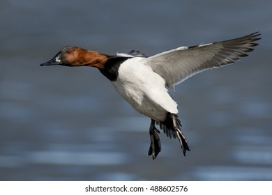 A drake Canvasback duck with its wings out and feet down coming in for a landing on an icy river on a sunny day.
