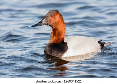 A drake Canvasback swimming on the Choptank River, Maryland