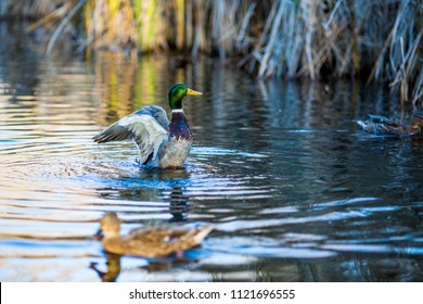 Drake duck closes his wings after spreading them and female mallard duck, blurred, swims in front of it in a lake in South park, Sofia, Bulgaria in the golden hour