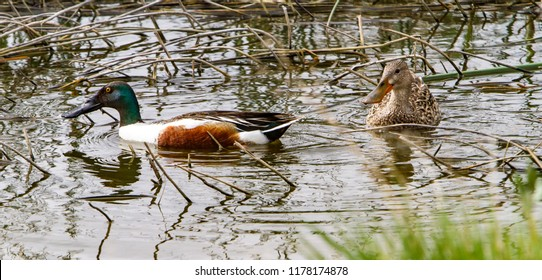 A drake and hen northern shoveler in a shallow wewtland.  They are known simply in Britain as the shoveler, and are a common and widespread duck.