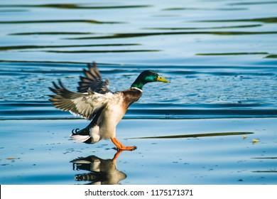 Drake landing on water of lake