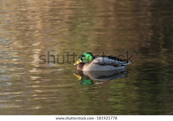 Drake Mallard Duck England