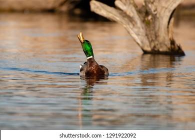 A drake mallard with his beak open