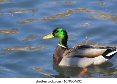 Drake Mallard Portrait, an up close and personal view of a Drake Mallard in water.