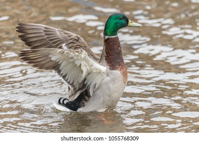 Drake Mallard in wing flap