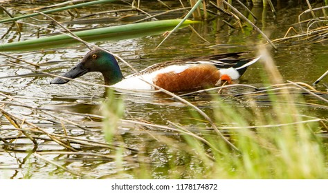 A drake northern shoveler in a shallow wewtland.  It is known simply in Britain as the shoveler, is a common and widespread duck.