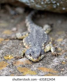 Drakensberg Crag Lizard, Cordylus melanotus