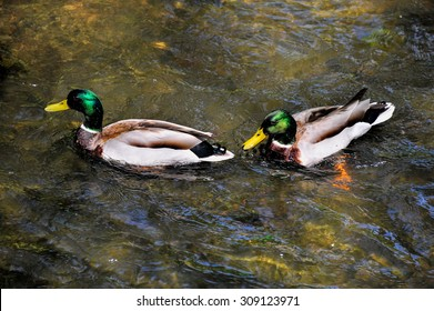 Drakes. Some thing are just guy things. In the spring of one's life, it's all about games and having fun. These ducks were photographed on a stream in a Prague forest.