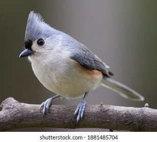 Drakesville, Iowa.  United States.  December, 2020.  A tufted titmouse sits perched on a branch in Iowa.