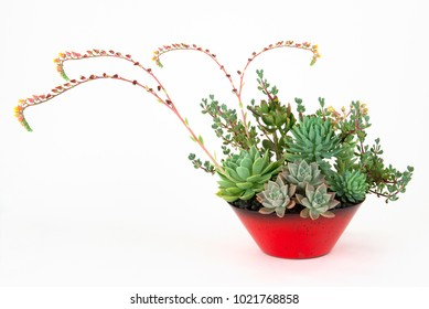 Dramatic Arrangement of Assorted Succulent Plants in a Red Flower Pot with Multiple Flowering Runners, Isolated on White.
