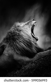 Dramatic black and white image of a lion on black background