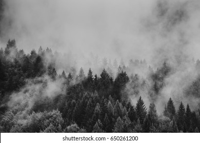 Dramatic black and white picture of foggy pine tree forest