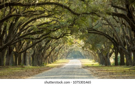 Dramatic canopy of oaks over dirt road in Savannah, Georgia, USA