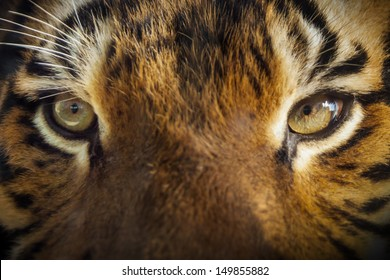 Dramatic close up photo of a Tiger's Eyes in outdoor sunlit lighting. Very shallow focus on tiger's eyes as it had its nose directly on the glass that separated us at our local zoo.