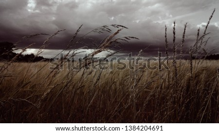 Dramatic English countryside landscape. Stormy clouds over a barley field, tall grass.