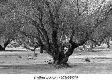 dramatic landscape with old olive tree, black and white