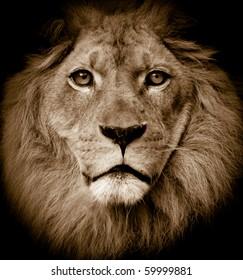 Dramatic lion portrait