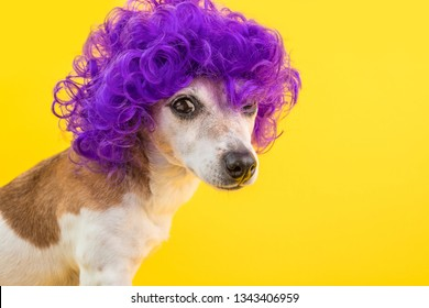dramatic look funny dog in violet wig. Cocky concept. Bright colors yellow background