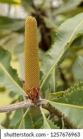 Dramatic looking flower spike of Banskia robur or Swamp banksia, an Australian native coastal plant