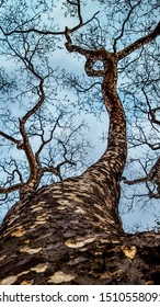 Dramatic low angle perspective of tree branches going all the way up to the blue sky. Beautifull wood texture. Branches with fractal patterns.