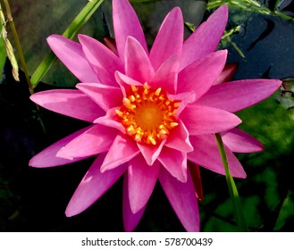 Dramatic Magenta Waterlily with Dark Green Lily Pads and Dark Water. Morning Light.