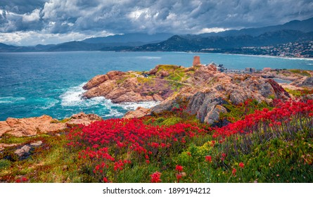 Dramatic marine scenery. Blooming red flowers on de la Pietra cape with Genoise de la Pietra a L'ile-Rousse tower on background. Amazing summer scene of Corsica island, France, Europe.