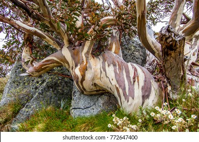 A dramatic old hardy Snow Gum growing around granite in summer in Australia's Snowy Mountains. Bark is smooth, textured and colorful. The tree has an appearance of an elephant with trunk outstretched.