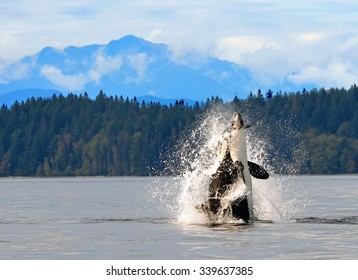 Dramatic photo of orca breaching  in discovery channel with a mountain backdrop , near  campbell river,  british columbia,  with a captured  harbor porpoise in its mouth