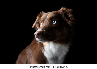 Dramatic portrait of red tri Miniature American Shephard with blue eyes
