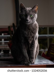 A dramatic portrait of a Russian Blue cat with green eyes. The cat is looking at the camera. The background is dark.