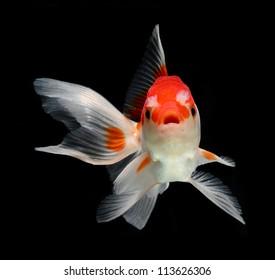 dramatic posed goldfish isolated on black background