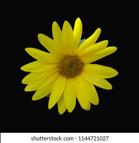 Dramatic single yellow sunflower centered on a black background