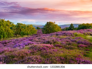 Dramatic skies over Purple and pink heather on Dorset heathland near Studland