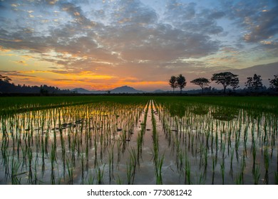 dramatic of sky with the row trees and mountain at a rice fields