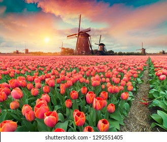 Dramatic spring scene on the tulip farm. Colorful sunset in Netherlands, Europe. - Shutterstock ID 1292551405