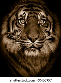 Dramatic tiger portrait