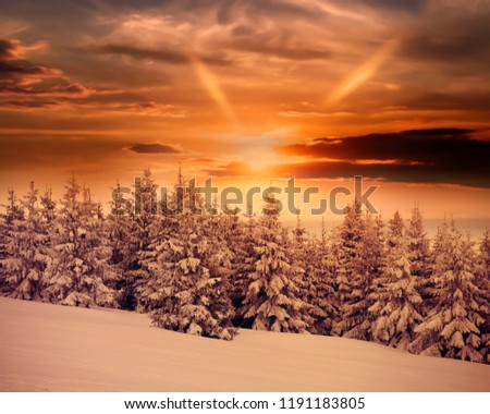 Dramatic winter sunrise in Carpathian mountains with snow covered fir trees.