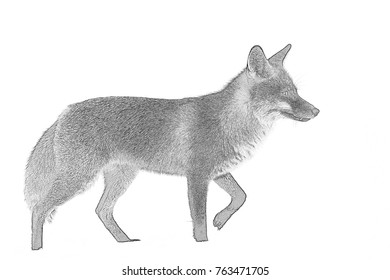 Drawing of the fox