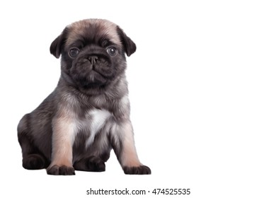 Drawing Puppy pug portrait on a white background