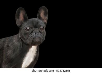 Drawing, raster illustration dog French Bulldog, portrait oil painting on a black background. Hand drawn home pet. Digital painting.  Rastr stock llustration